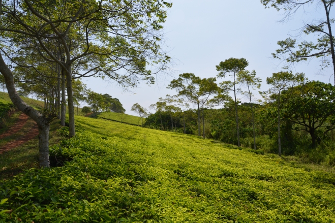 Tea just shines out of the landscape!