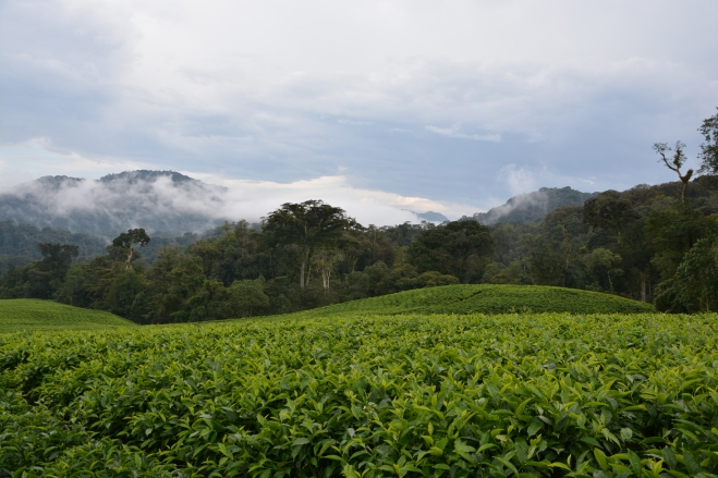 More tea, at the edge of the lovely Nyungwe national forest