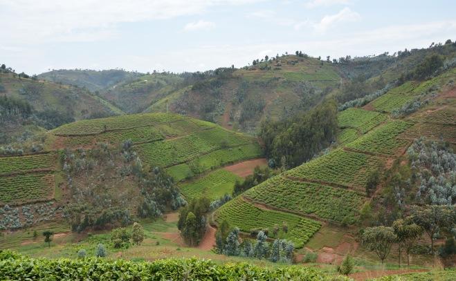 More Rwandan tea